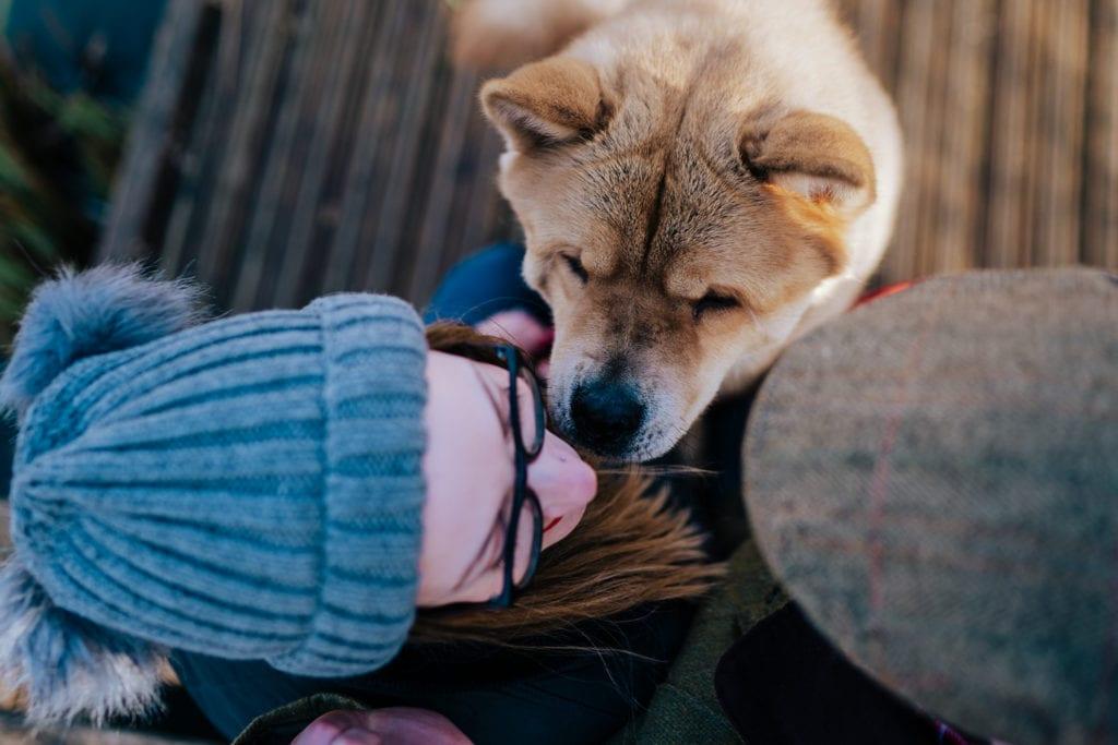 Pomeranian - Shiba Inu